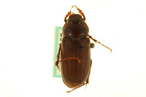 (Phyllophaga lobata - CNC COLEO 00124223)  @14 [ ] CreativeCommons - Attribution Non-Commercial Share-Alike (2011) CNC/BIO Photography Group Centre for Biodiversity Genomics