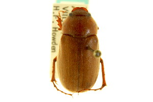 (Phyllophaga arcta - CNC COLEO 00124239)  @14 [ ] CreativeCommons - Attribution Non-Commercial Share-Alike (2011) CNC/BIO Photography Group Centre for Biodiversity Genomics