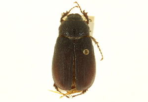 (Phyllophaga subprunina - CNC COLEO 00124269)  @11 [ ] CreativeCommons - Attribution Non-Commercial Share-Alike (2011) CNC/BIO Photography Group Centre for Biodiversity Genomics