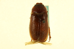 (Phyllophaga balia - CNC COLEO 00124283)  @11 [ ] CreativeCommons - Attribution Non-Commercial Share-Alike (2011) CNC/BIO Photography Group Centre for Biodiversity Genomics