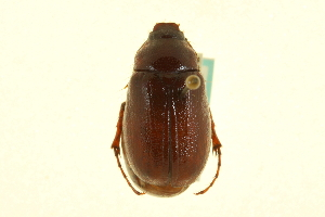(Phyllophaga sequoiana - CNC COLEO 00124284)  @11 [ ] CreativeCommons - Attribution Non-Commercial Share-Alike (2011) CNC/BIO Photography Group Centre for Biodiversity Genomics