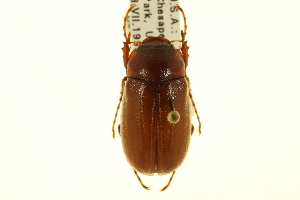 (Phyllophaga ephilida - CNC COLEO 00124307)  @11 [ ] CreativeCommons - Attribution Non-Commercial Share-Alike (2011) CNC/BIO Photography Group Centre for Biodiversity Genomics