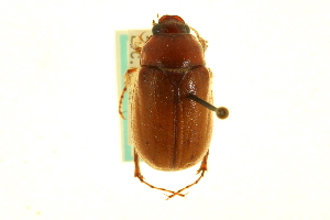 (Phyllophaga glabricula - CNC COLEO 00124319)  @13 [ ] CreativeCommons - Attribution Non-Commercial Share-Alike (2011) CNC/BIO Photography Group Centre for Biodiversity Genomics