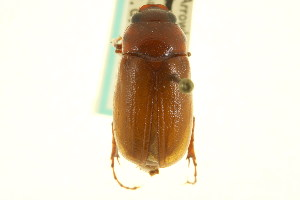 (Phyllophaga glaberrima - CNC COLEO 00124352)  @13 [ ] CreativeCommons - Attribution Non-Commercial Share-Alike (2011) CNC/BIO Photography Group Centre for Biodiversity Genomics
