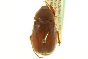 (Phyllophaga disparilis - CNC COLEO 00124400)  @11 [ ] CreativeCommons - Attribution Non-Commercial Share-Alike (2011) CNC/BIO Photography Group Centre for Biodiversity Genomics