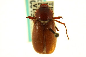 (Phyllophaga wickhami - CNC COLEO 00124438)  @11 [ ] CreativeCommons - Attribution Non-Commercial Share-Alike (2011) CNC/BIO Photography Group Centre for Biodiversity Genomics