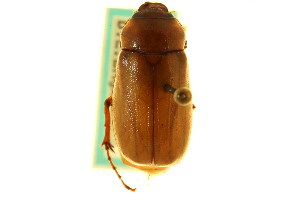 (Phyllophaga pallida - CNC COLEO 00124450)  @11 [ ] CreativeCommons - Attribution Non-Commercial Share-Alike (2011) CNC/BIO Photography Group Biodiversity Institute of Ontario