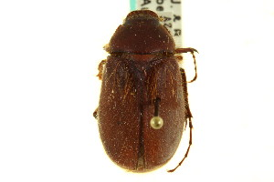 (Phyllophaga vetula - CNC COLEO 00124492)  @15 [ ] CreativeCommons - Attribution Non-Commercial Share-Alike (2011) CNC/BIO Photography Group Centre for Biodiversity Genomics