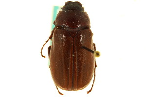 (Phyllophaga incuria - CNC COLEO 00124500)  @11 [ ] CreativeCommons - Attribution Non-Commercial Share-Alike (2011) CNC/BIO Photography Group Centre for Biodiversity Genomics