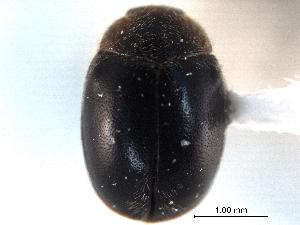 (Scymnus apicanus pseudapicanus - CNC COLEO 00154115)  @11 [ ] CreativeCommons - Attribution Non-Commercial Share-Alike (2012) CNC/BIO Photography Group Biodiversity Institute of Ontario