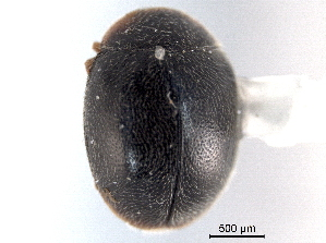 (Scymnus marginicollis - CNC COLEO 00154186)  @11 [ ] CreativeCommons - Attribution Non-Commercial Share-Alike (2012) CNC/BIO Photography Group Biodiversity Institute of Ontario