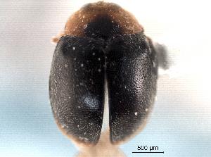 (Scymnus uncus - CNC COLEO 00154412)  @11 [ ] CreativeCommons - Attribution Non-Commercial Share-Alike (2012) CNC/BIO Photography Group Biodiversity Institute of Ontario