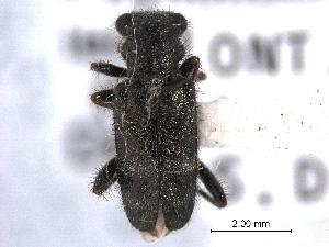 (Hydnocerinae - CNC COLEO 00154878)  @14 [ ] CreativeCommons - Attribution Non-Commercial Share-Alike (2012) CNC/BIO Photography Group Centre for Biodiversity Genomics