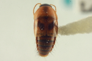 (Tachyporus lecontei - CNC COLEO 00161377)  @12 [ ] CreativeCommons - Attribution Non-Commercial Share-Alike (2014) BIO Photography Group Biodiversity Institute of Ontario