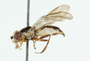 (Chamaesphegina - CNC DIPTERA 101676)  @13 [ ] CreativeCommons - Attribution Non-Commercial Share-Alike (2011) CNC/BIO Photography Group Biodiversity Institute of Ontario