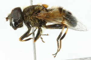 (Eristalis picea - CNC DIPTERA 102045)  @14 [ ] CreativeCommons - Attribution Non-Commercial Share-Alike (2011) CNC/BIO Photography Group Biodiversity Institute of Ontario