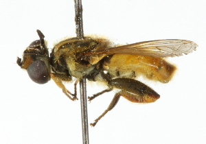 (Mesembrius - CNC DIPTERA 102306)  @14 [ ] CreativeCommons - Attribution Non-Commercial Share-Alike (2011) CNC/BIO Photography Group Biodiversity Institute of Ontario