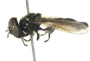 (Neocnemodon - CNC DIPTERA 102805)  @12 [ ] CreativeCommons - Attribution Non-Commercial Share-Alike (2011) CNC/BIO Photography Group Biodiversity Institute of Ontario
