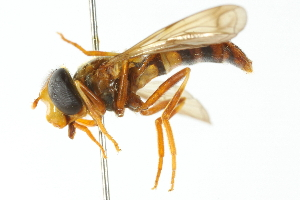(Asiodidea - CNC DIPTERA 103005)  @11 [ ] CreativeCommons - Attribution Non-Commercial Share-Alike (2011) CNC/BIO Photography Group Biodiversity Institute of Ontario