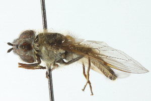 (Betasyrphus - CNC DIPTERA 103031)  @13 [ ] CreativeCommons - Attribution Non-Commercial Share-Alike (2011) CNC/BIO Photography Group Biodiversity Institute of Ontario