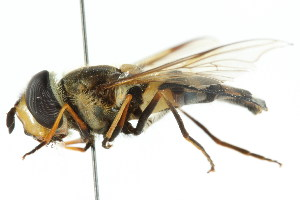 ( - CNC DIPTERA 105411)  @11 [ ] CreativeCommons - Attribution Non-Commercial Share-Alike (2011) CNC/BIO Photography Group Biodiversity Institute of Ontario