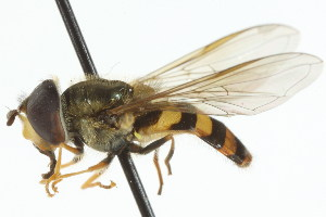 ( - CNC DIPTERA 105915)  @13 [ ] CreativeCommons - Attribution Non-Commercial Share-Alike (2011) CNC/BIO Photography Group Biodiversity Institute of Ontario