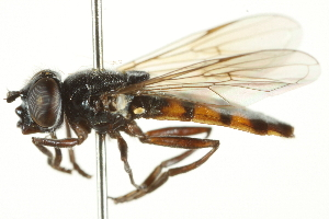 (Rohdendorfia - CNC DIPTERA 106391)  @14 [ ] CreativeCommons - Attribution Non-Commercial Share-Alike (2011) CNC/BIO Photography Group Biodiversity Institute of Ontario