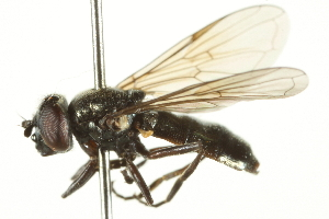 (Syrphocheilosia - CNC DIPTERA 106392)  @14 [ ] CreativeCommons - Attribution Non-Commercial Share-Alike (2011) CNC/BIO Photography Group Biodiversity Institute of Ontario