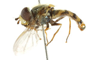 ( - CNC DIPTERA 35053)  @11 [ ] CreativeCommons - Attribution Non-Commercial Share-Alike (2011) CNC/BIO Photography Group Centre for Biodiversity Genomics