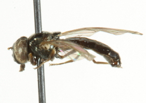 ( - CNC DIPTERA 56761)  @12 [ ] CreativeCommons - Attribution Non-Commercial Share-Alike (2011) CNC/BIO Photography Group Centre for Biodiversity Genomics