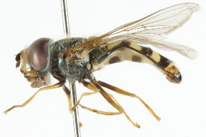 ( - CNC DIPTERA 60137)  @11 [ ] CreativeCommons - Attribution Non-Commercial Share-Alike (2011) CNC/BIO Photography Group Centre for Biodiversity Genomics