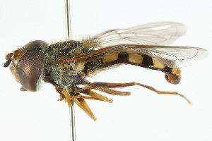 ( - CNC DIPTERA 60161)  @11 [ ] CreativeCommons - Attribution Non-Commercial Share-Alike (2011) CNC/BIO Photography Group Centre for Biodiversity Genomics