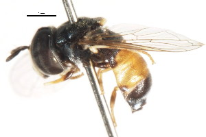 ( - CNC DIPTERA 105762)  @11 [ ] CreativeCommons - Attribution Non-Commercial Share-Alike (2011) CNC/BIO Photography Group Centre for Biodiversity Genomics