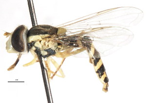 ( - CNC DIPTERA 105991)  @14 [ ] CreativeCommons - Attribution Non-Commercial Share-Alike (2011) CNC/BIO Photography Group Centre for Biodiversity Genomics