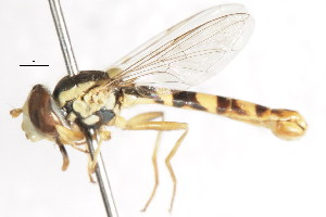 ( - CNC DIPTERA 105995)  @14 [ ] CreativeCommons - Attribution Non-Commercial Share-Alike (2011) CNC/BIO Photography Group Centre for Biodiversity Genomics
