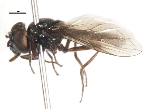 (Syrphocheilosia - CNC DIPTERA 106004)  @14 [ ] CreativeCommons - Attribution Non-Commercial Share-Alike (2011) CNC/BIO Photography Group Biodiversity Institute of Ontario