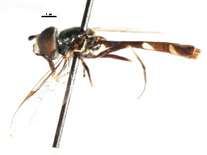 (Pseudodoros - CNC DIPTERA 73817)  @13 [ ] CreativeCommons - Attribution Non-Commercial Share-Alike (2011) CNC/BIO Photography Group Biodiversity Institute of Ontario