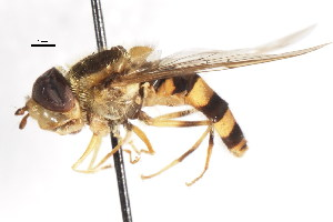 ( - CNC DIPTERA 78728)  @13 [ ] CreativeCommons - Attribution Non-Commercial Share-Alike (2011) CNC/BIO Photography Group Biodiversity Institute of Ontario