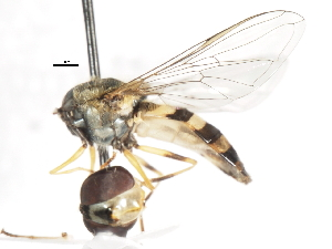 ( - CNC DIPTERA 80058)  @12 [ ] CreativeCommons - Attribution Non-Commercial Share-Alike (2011) CNC/BIO Photography Group Biodiversity Institute of Ontario