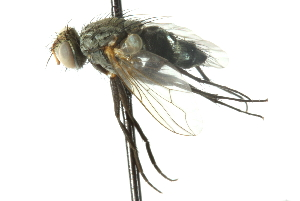 (Phantasiomyia - CNC DIPTERA 103988)  @13 [ ] CreativeCommons - Attribution Non-Commercial Share-Alike (2011) CNC/BIO Photography Group Biodiversity Institute of Ontario