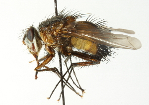 (Eudexia - CNC DIPTERA 104420)  @15 [ ] CreativeCommons - Attribution Non-Commercial Share-Alike (2011) CNC/BIO Photography Group Biodiversity Institute of Ontario