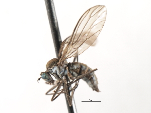 (Clinocerinae - CNC DIPTERA 103579)  @15 [ ] CreativeCommons - Attribution Non-Commercial Share-Alike (2011) CNC/BIO Photography Group Biodiversity Institute of Ontario
