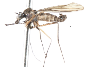 (Proagomyia - CNC DIPTERA 103683)  @14 [ ] CreativeCommons - Attribution Non-Commercial Share-Alike (2011) CNC/BIO Photography Group Biodiversity Institute of Ontario