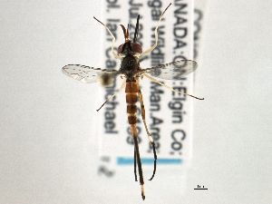 (Stylogaster neglecta - CNC DIPTERA 195997)  @13 [ ] CreativeCommons - Attribution Non-Commercial Share-Alike (2013) CNC/BIO Photography Group Biodiversity Institute of Ontario