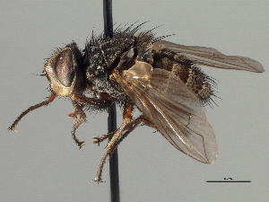 (Eustacomyia - CNC DIPTERA 197409)  @15 [ ] CreativeCommons - Attribution Non-Commercial Share-Alike (2013) BIO Photography Group/CNC Biodiversity Institute of Ontario