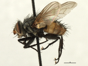 (Parerigonini sp. 4 - CNC DIPTERA 197413)  @11 [ ] CreativeCommons - Attribution Non-Commercial Share-Alike (2013) BIO Photography Group/CNC Biodiversity Institute of Ontario