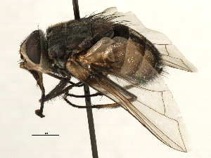 (Prodiaphania - CNC DIPTERA 197426)  @14 [ ] CreativeCommons - Attribution Non-Commercial Share-Alike (2013) BIO Photography Group/CNC Biodiversity Institute of Ontario