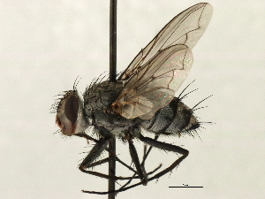 (Senostoma - CNC DIPTERA 197438)  @14 [ ] CreativeCommons - Attribution Non-Commercial Share-Alike (2013) BIO Photography Group/CNC Biodiversity Institute of Ontario