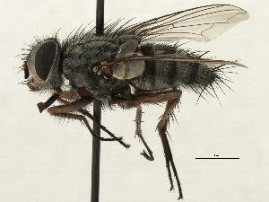 (Trichostylum - CNC DIPTERA 197440)  @11 [ ] CreativeCommons - Attribution Non-Commercial Share-Alike (2013) BIO Photography Group/CNC Biodiversity Institute of Ontario