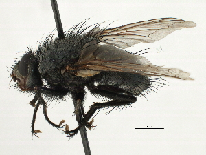 (Geraldia - CNC DIPTERA 197448)  @11 [ ] CreativeCommons - Attribution Non-Commercial Share-Alike (2013) BIO Photography Group/CNC Biodiversity Institute of Ontario